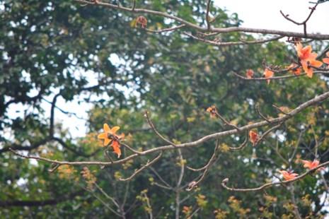 Ngắm hoa gạo đỏ rực trong rừng Cúc Phương - 7