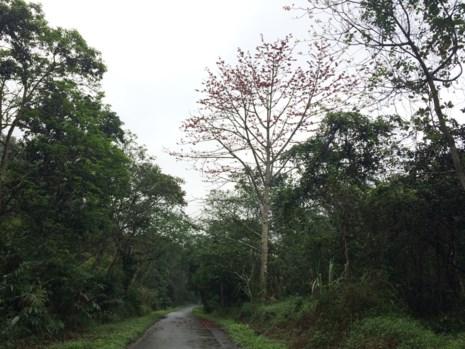 Ngắm hoa gạo đỏ rực trong rừng Cúc Phương - 9