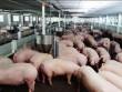 Bộ Nông nghiệp kêu gọi giảm giá thức ăn chăn nuôi, hỗ trợ người nuôi lợn