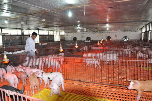 Trung Quốc bắt đầu mua lợn trở lại, giá lợn miền Bắc tăng 3.000đ/kg - 2
