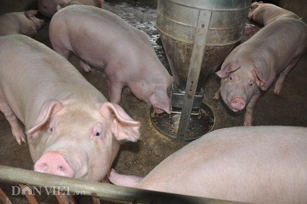 Trung Quốc bắt đầu mua lợn trở lại, giá lợn miền Bắc tăng 3.000đ/kg - 5