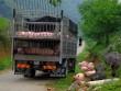 Xôn xao hình ảnh đàn heo bị vứt bỏ dọc đường