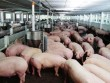 Xem xét giãn nợ, miễn giảm lãi cho các tổ chức, cá nhân vay để chăn nuôi lợn