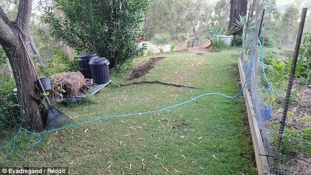 Ra vườn nhặt cành cây, không ngờ là rắn dài 2m - 1