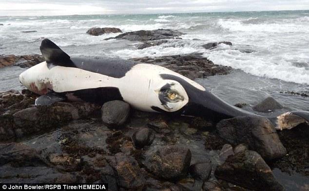 Phát hiện sốc trong xác cá voi sát thủ dạt bờ biển Anh - 2