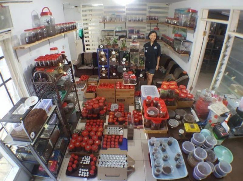 """Cô gái Indonesia """"nghiện"""" chung sống với 1500 con nhện độc - 2"""