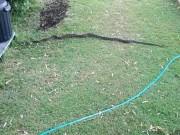Phi thường - kỳ quặc - Ra vườn nhặt cành cây, không ngờ là rắn dài 2m