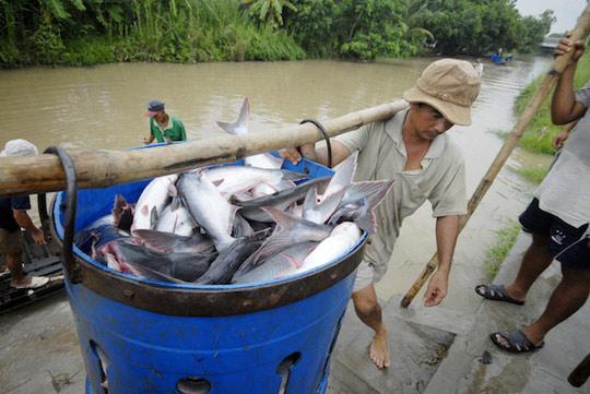 Trung Quốc là nhà nhập khẩu cá tra lớn nhất của Việt Nam - 1