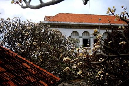 Rừng hoa sứ nơi vua Thành Thái bị giam lỏng nở hoa tuyệt đẹp - 2