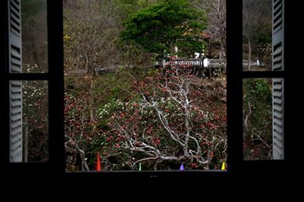 Rừng hoa sứ nơi vua Thành Thái bị giam lỏng nở hoa tuyệt đẹp - 4