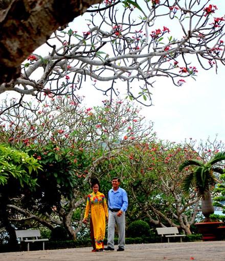 Rừng hoa sứ nơi vua Thành Thái bị giam lỏng nở hoa tuyệt đẹp - 6