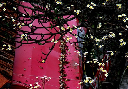 Rừng hoa sứ nơi vua Thành Thái bị giam lỏng nở hoa tuyệt đẹp - 7