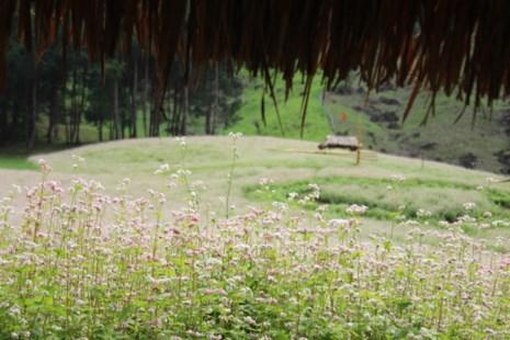 Say lòng hoa tam giác mạch cuối mùa xứ Tây Bắc - 11