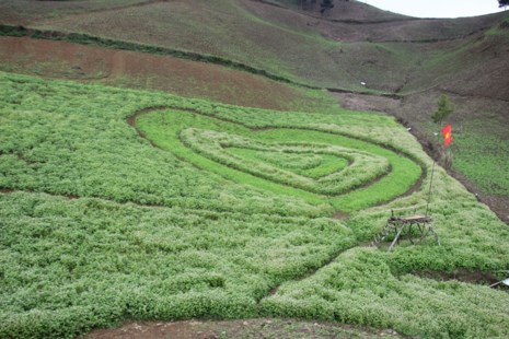 Say lòng hoa tam giác mạch cuối mùa xứ Tây Bắc - 14