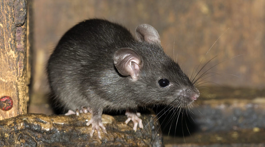 Ấn Độ: Chuột uống hàng trăm nghìn lít rượu? - 1