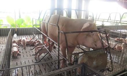Giá thịt heo sắp tăng mạnh? - 2