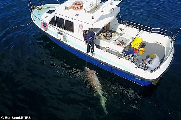 Bắt được cá mập gần 7 tạ lớn nhất châu Âu - 1