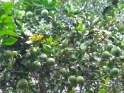 Thị trường - Tiêu dùng - Bưởi lạ trồng đất quen-dân Đà thành kiếm bộn tiền tiêu