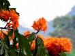 Ngắm hoa vàng anh, 'đặc sản' của rừng Cúc Phương