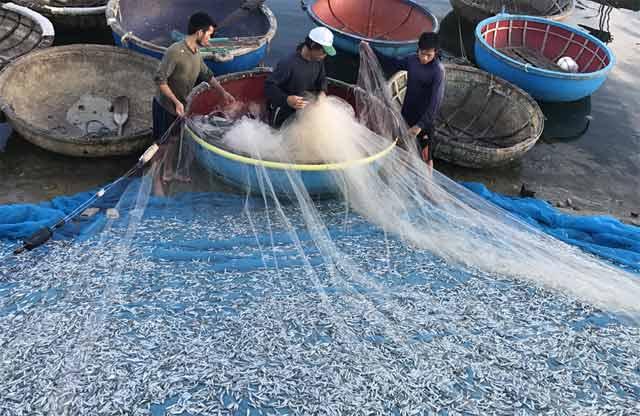 Quảng Ngãi: Chèo thúng đi đánh cá cơm quế kiếm tiền triệu/buổi - 2
