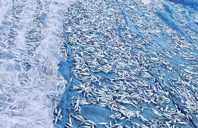 Quảng Ngãi: Chèo thúng đi đánh cá cơm quế kiếm tiền triệu/buổi - 3