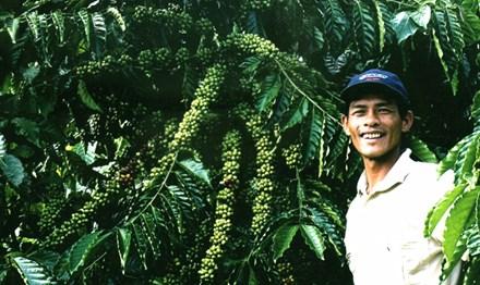 Để phát triển cà phê bền vững: Liên kết chuỗi - 1