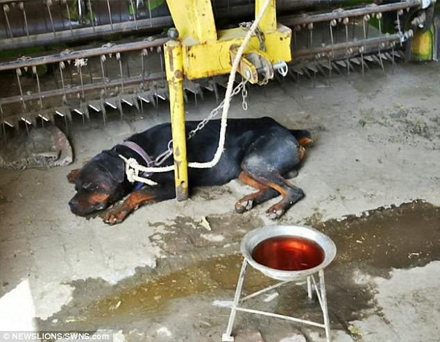 Ấn Độ: Chủ bị chó nuôi cắn chết, ăn xác - 2