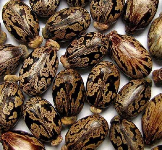Loại hạt dễ ngộ độc nếu vô tình ăn phải mà bạn có thể chưa biết - 1