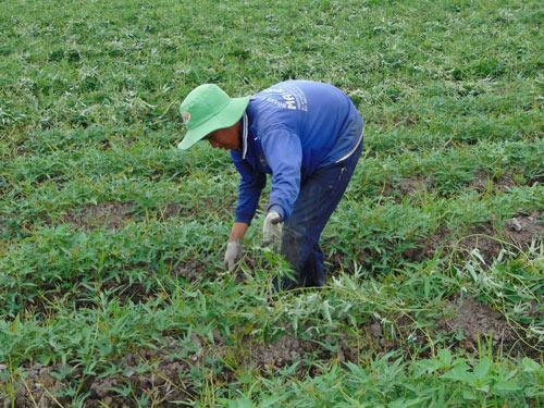 Trồng khoai lang trên đất lúa thu lãi trên 10 triệu đồng/công - 1