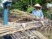 """Thị trường - Tiêu dùng - Không thể sống với cây mía, nông dân Cà Mau """"xé rào"""" nuôi tôm"""