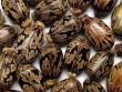 Loại hạt dễ ngộ độc nếu vô tình ăn phải mà bạn có thể chưa biết
