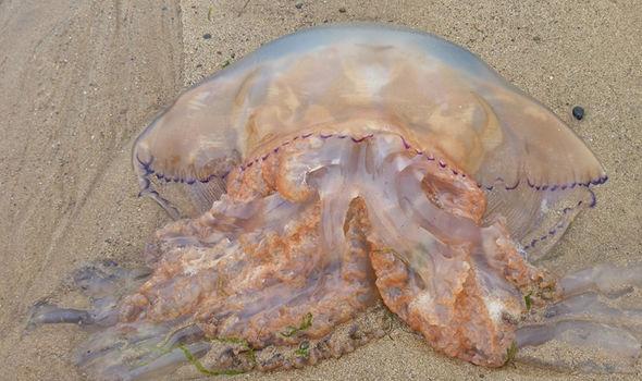 Ngàn con sứa khổng lồ trôi dạt bờ biển Anh - 2