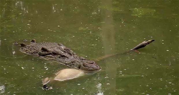 Cá sấu khổng lồ chớp nhoáng tung người xé đôi kangaroo - 2