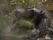 Thế giới - Cá sấu khổng lồ chớp nhoáng tung người xé đôi kangaroo