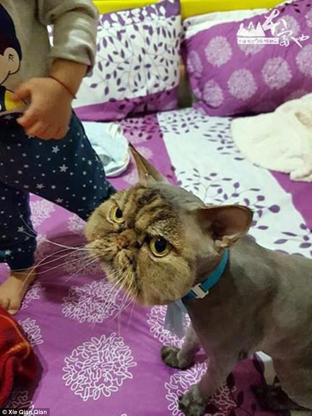 Đưa mèo đi tỉa lông, sốc khi đón về - 2