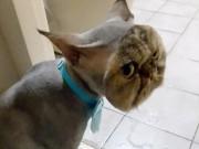 Phi thường - kỳ quặc - Đưa mèo đi tỉa lông, sốc khi đón về