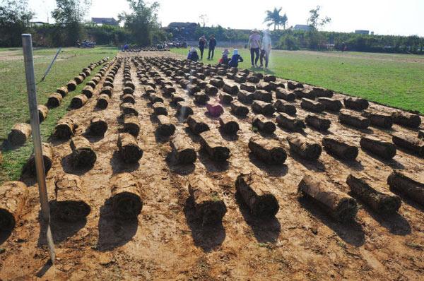 Nghề lạ: Thực hư chuyện trồng cỏ kiếm bộn tiền ở Điền Xá - 2