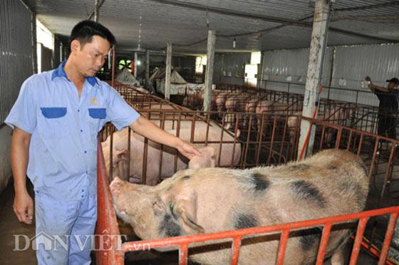 SỐC: Mất 10.000 tỷ đồng từ cuộc đại khủng hoảng lợn - 2