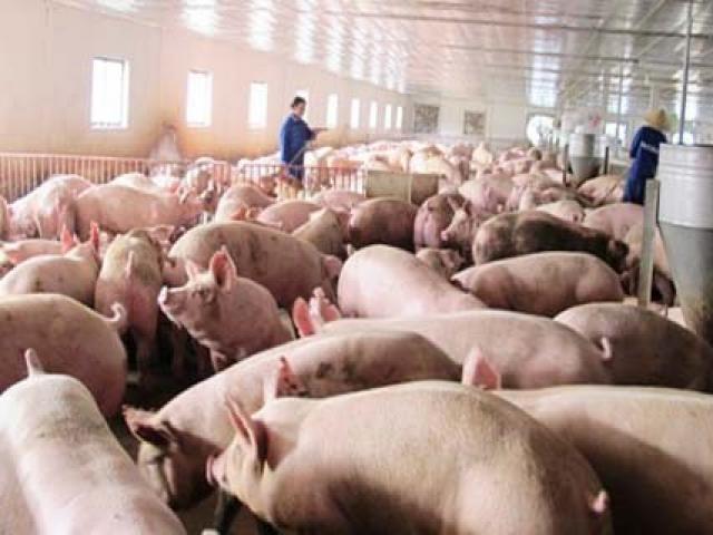 """Vẫn còn """"tồn"""" 1,5 triệu con lợn chưa được """"giải cứu"""""""