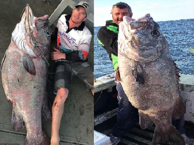 """Úc: Đi câu cá 3kg, bắt được """"quái vật"""" khổng lồ 70kg"""