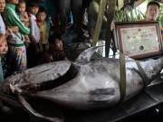 """Tin tức trong ngày - Cá ngừ vây xanh """"khủng"""" chưa từng thấy lập kỷ lục VN"""