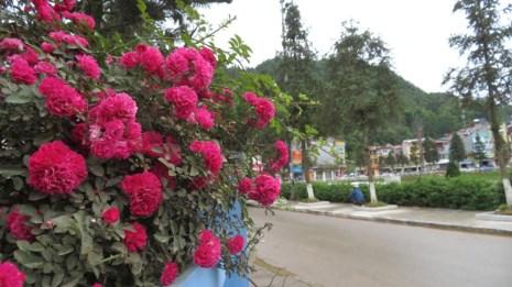 Ngắm vẻ đẹp kiêu sa, khó cưỡng của hồng leo Sa Pa - 8
