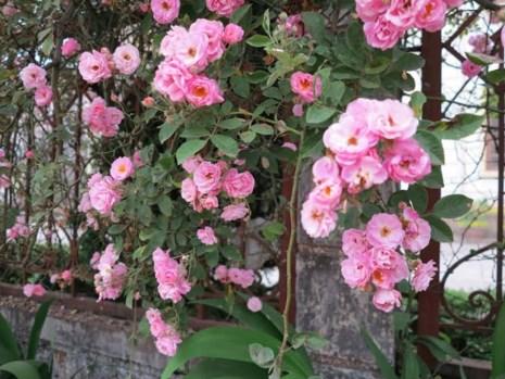 Ngắm vẻ đẹp kiêu sa, khó cưỡng của hồng leo Sa Pa - 4