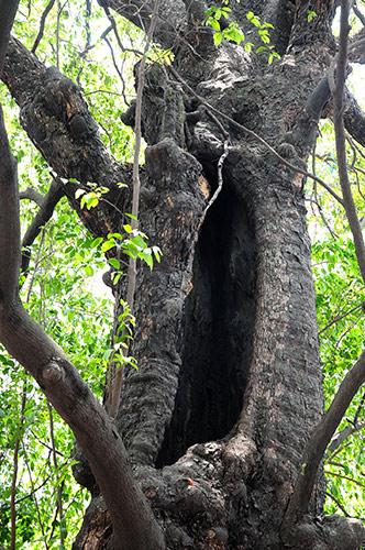 Kỳ lạ cây thị gần 600 tuổi phát ra tiếng động lúc nửa đêm - 4