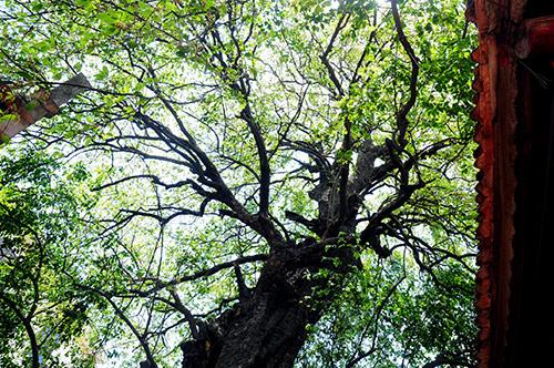 Kỳ lạ cây thị gần 600 tuổi phát ra tiếng động lúc nửa đêm - 3