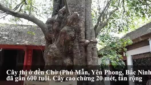 Cận cảnh cây thị gần 600 tuổi, cả làng không ai dám mạo phạm