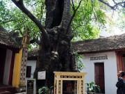 Tin tức trong ngày - Cận cảnh cây thị gần 600 tuổi, cả làng không ai dám mạo phạm