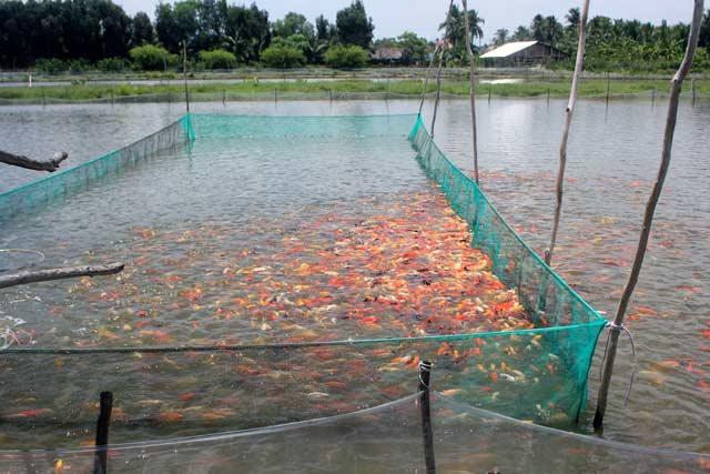 """Lão nông canh con nước """"độc"""" nuôi cá cảnh, thu cả trăm triệu/tháng - 2"""