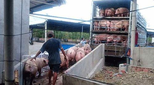 Chưa giải quyết xong đàn lợn, lại lo giá gà giảm? - 2