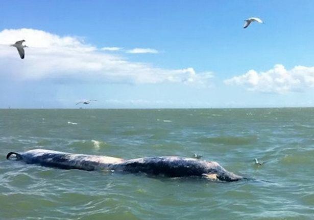 """Xác cá voi khổng lồ liên tiếp """"cập bờ"""" biển Anh - 1"""